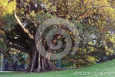 Huge old tree in morning sunlight