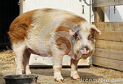 Huge Pig