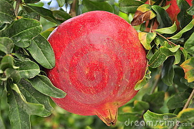 Huge pomegranate in the tree