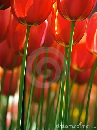 Free Huge Red Tulips Royalty Free Stock Photo - 8147595