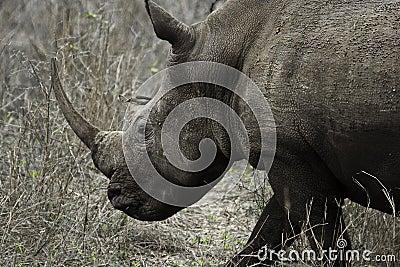 Huge Rhino