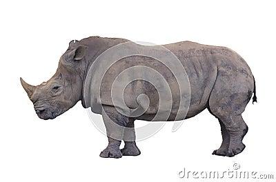 Huge rhino isolated