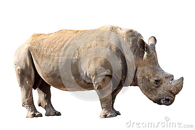 Huge rhino isolated