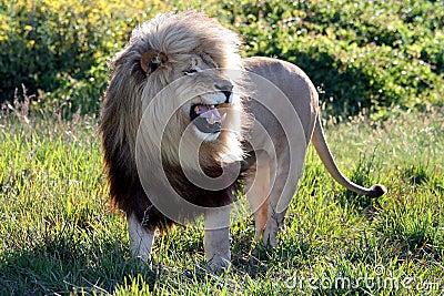 Huge Roaring Male Lion