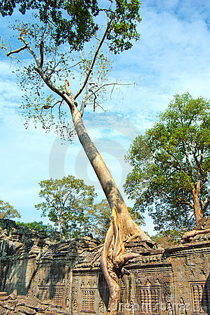 Huge roots of tree on the temple near Angkor wat