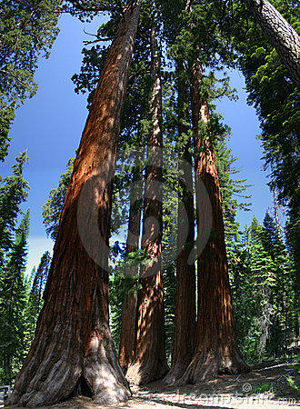 Huge Sequoias