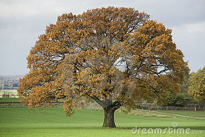 Huge Single Oak tree in autumn