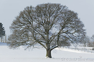 Huge Single Oak tree in winter snow