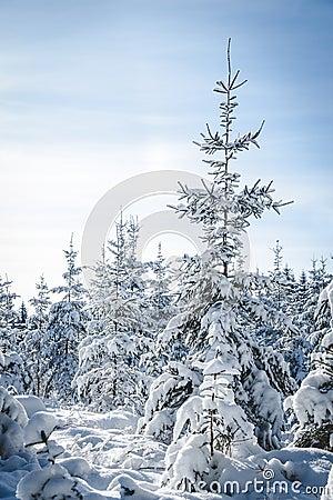 Huge snowy Fir Tree
