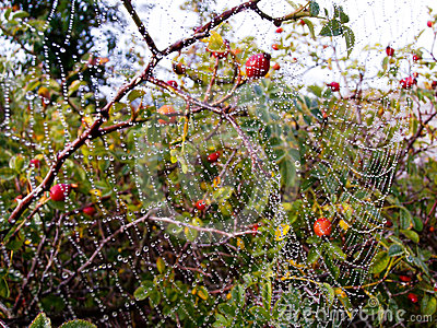 Huge spider web with dew drops
