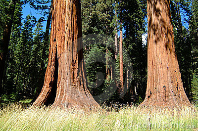 Huge Tree Trunk of Redwood Trees