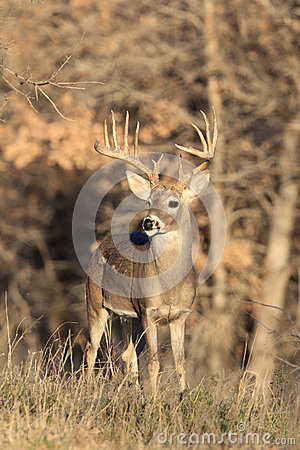 Huge Typical Racked Whitetail Buck