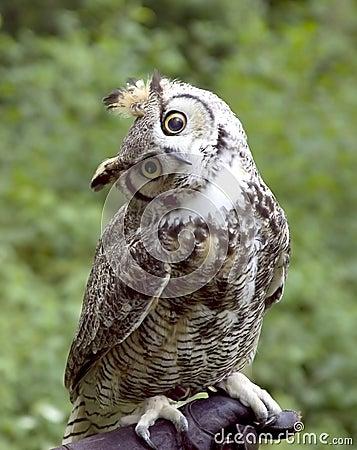 Free Huh Owl Royalty Free Stock Photo - 282005
