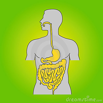 Human alimentary system