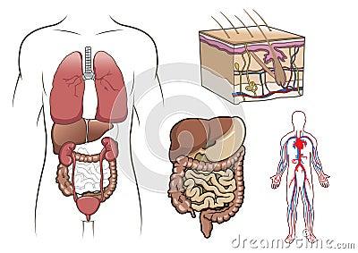 Human anatomy in