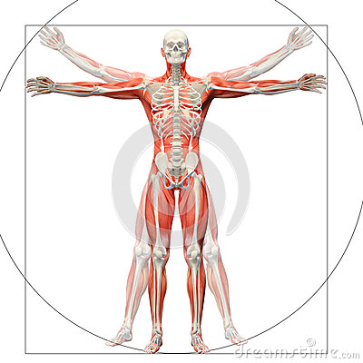 Free Human Anatomy Displayed As The Vitruvian Man Royalty Free Stock Image - 42432776