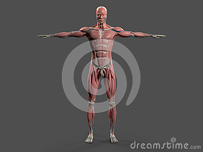 Human Anatomy With Front View Of Full Body . Stock Photo ...