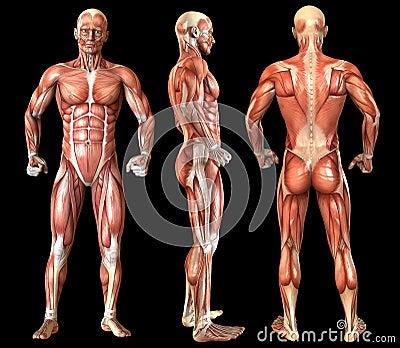 Human Anatomy Full Body Muscles Stock Photography Cartoondealer