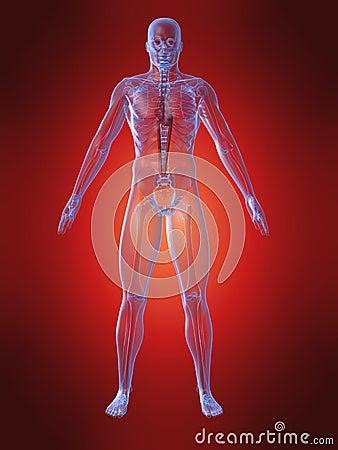 Human anatomy with heart