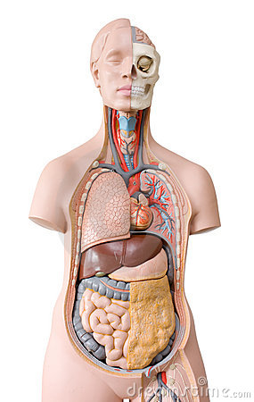 Free Human Anatomy Mannequin Royalty Free Stock Image - 14908186