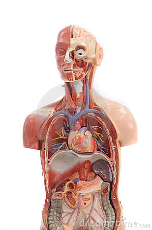 Human anatomy model.