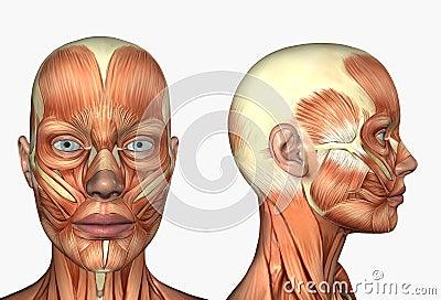 Human Face Anatomy Face Facial Muscles - Human