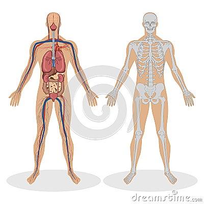 Free Human Anatomy Of Man Stock Photos - 18955843
