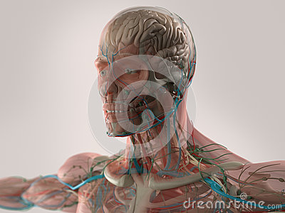 human anatomy showing face  head  shoulders and chest stock illustration image 62933197 Canis Major Dog canis major diagram
