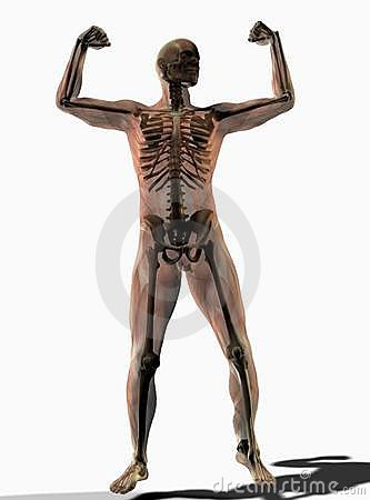 Human anatomy transparent