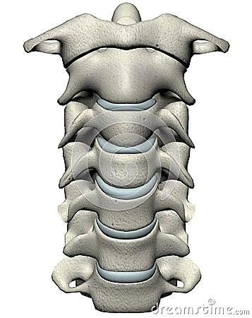Human anterior cervical spine (neck)
