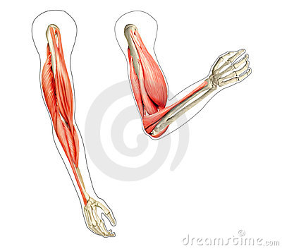 Human arms anatomy diagrams.