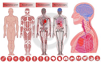 Human body anatomy, Medical Education. Vector Illustration