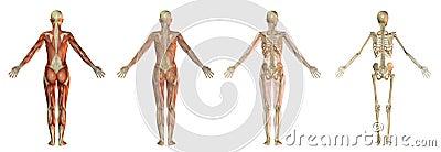 Human body illustrations