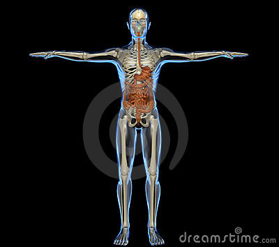 Human body with intestine and skeleton