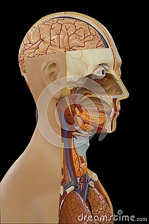 Human Body Model
