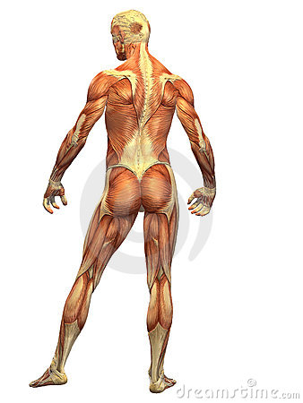 Free Human Body Muscle - Male Back Royalty Free Stock Photo - 6056705