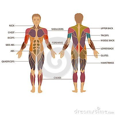 human body, muscle stock vector - image: 52353924, Muscles