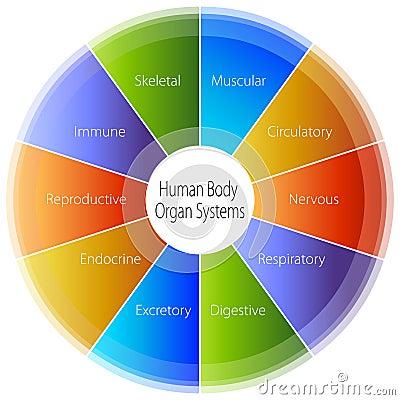 Free Human Body Organ Systems Chart Stock Photo - 23244280