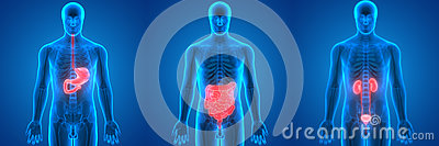 Human Body Organs Anatomy Stomach, Large and Small Intestine, Kidneys Stock Photo