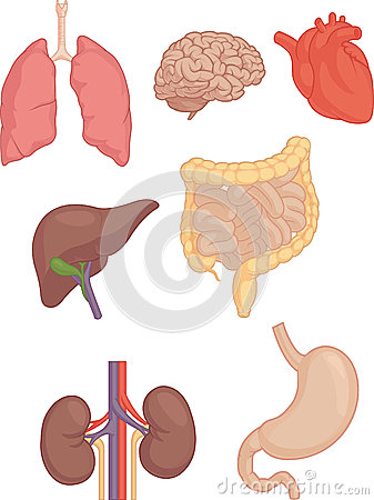 Free Human Body Parts - Brain, Lung, Heart, Liver, Intestines Royalty Free Stock Photo - 43552485