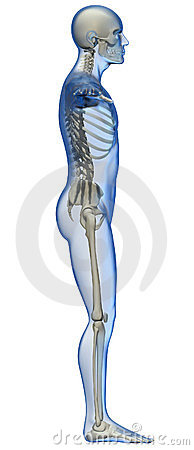human body and skeleton of profile stock photography - image: 23383852, Skeleton