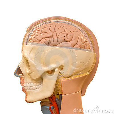 Free Human Brain Anatomy Stock Photo - 17078750