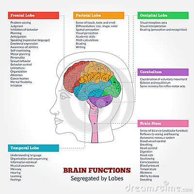 The brain anatomy and function