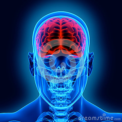 Free Human Brain And Scull Stock Photography - 27011432