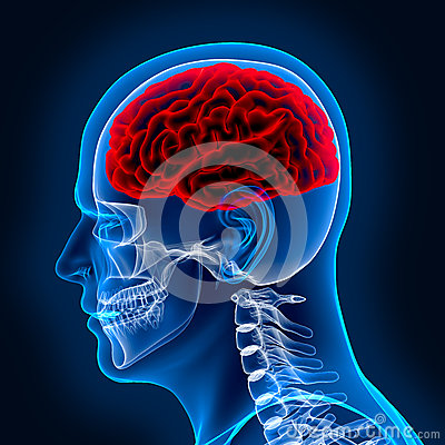 Free Human Brain And Scull Royalty Free Stock Photography - 28274567
