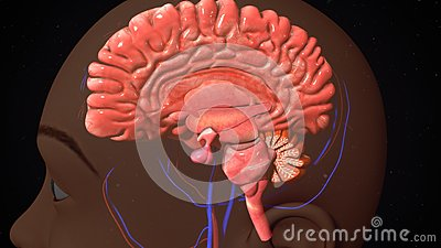 human brain stock photo - image: 73450141, Muscles