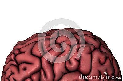 Human brain gyri close-up