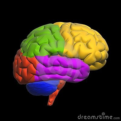 stock images  human brain sections