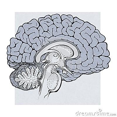 Human Brain Pencil Drawing Human-brain-structures- ...