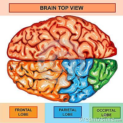 Human Brain Top View Royalty Free Stock Image - Image ...